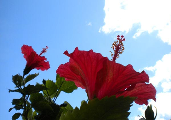 Hibiscus, the symbol of Okinawa