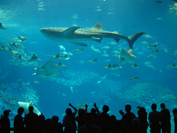 [With Churaumi Aquarium ticket] Touching experience with Okinawan ocean full of mystery (with breakfast)