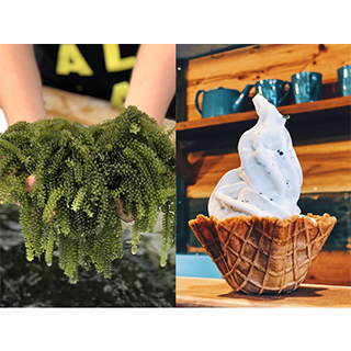 Try picking umibudō (sea grapes)! <The world's first 'sea grape blended soft serve' & freshly picked sea grapes sampling included >