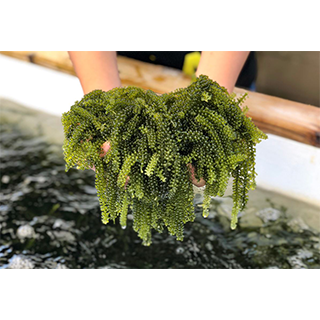 Excursion to the aquaculture farm of umibudō (sea grapes)! <1 pack of sea grapes or ice cream made of sea grapes is included >