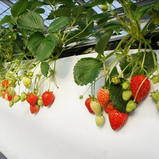 【Nanjo】Strawberry Picking Experience in the Island!! (40 minute all-you-can-eat plan)